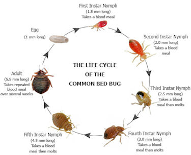 C C Bed Bug and Pest Control. Apartment Bugs Common   penncoremedia com